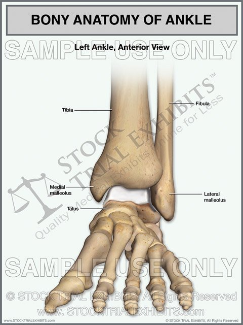 Bony Anatomy of the Left Ankle Stock Trial Exhibit